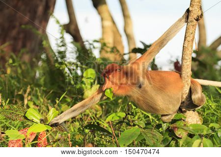 Female Proboscis Monkey eating leaves