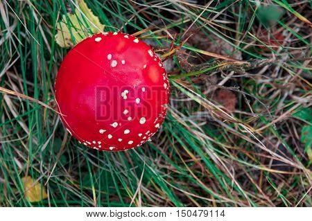 Closeup of a toadstool mushroom, called Amanita muscaria or fly agaric, amidst green grass and pine needles, view from above
