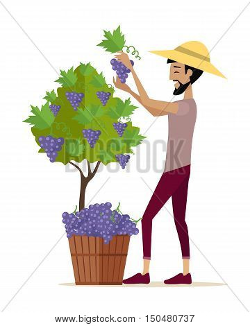 Man gathers red grapes into the basket. For labels, tags, posters, banners of check elite vintage wines. Winemaking concept. Part of series of viniculture production and preparation items. Vector