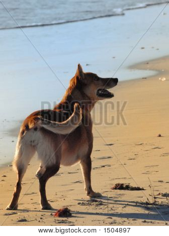 dog on a sandy beach walking the dogwalking on the beachexcercising the dog poster