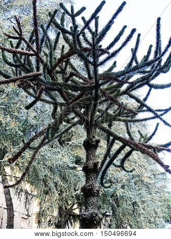 characteristic tree . ever green. public park.