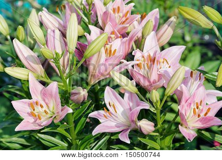 Many large beautiful flowers of pink lilies outdoors close-up