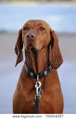 dog portrait Hungarian or Magyar Vizsla hunting dog from the pointer group against a blurred gray-blue background selected focus on the nose narrow depth of field
