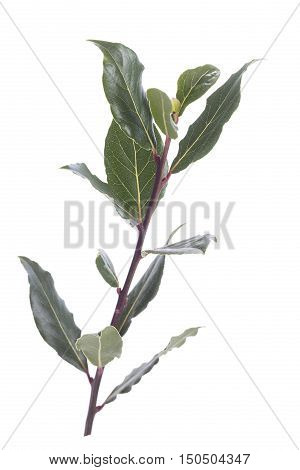 Bunch of laurel branches with leaves dried isolated on a white background