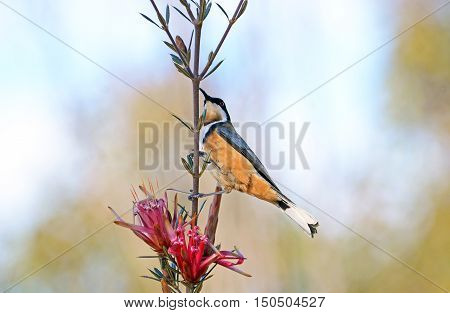 Australian native Eastern Spinebill, Acanthorhynchus tenuirostris, on a red Mountain Devil flower (Lambertia formosa), Royal National park, Sydney, New South Wales
