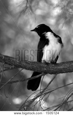 Black And White Willy Wagtail Portrait