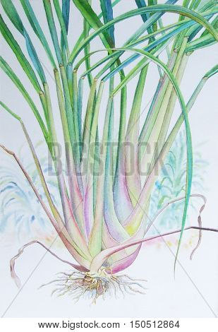 Watercolor painting original realistic lemon grass of and green leaves in white background. Original painting