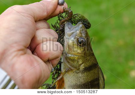 Perch caught on spinning in the hands of the angler