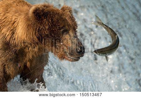 Alaskan Brown Bear Attempting To Catch Salmon