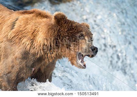 Alaskan Brown Bear Waiting To Catch Salmon