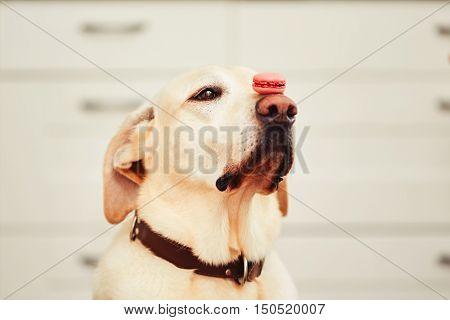Dog (labrador retriever) balancing tasty french macaroon on his nose - selective focus