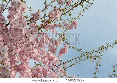 Detail of a vigorously flowering ornamental cherry