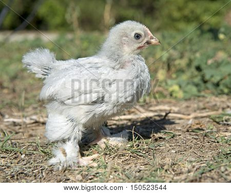 grey chick bantam pekin in the garden