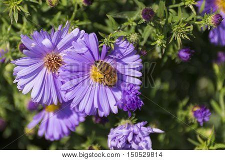 Blick auf Violette Astern an einem Frühlingstag