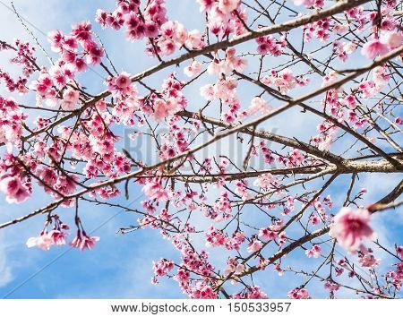 Wild Himalayan Cherry flower (Prunus cerasoides)Giant tiger flower in Chiang Mai Thailand.