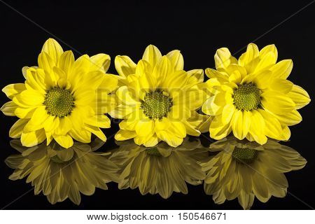 Flowers of yellow marguerite (Leucanthemum vulgare) isolated on black background reflection