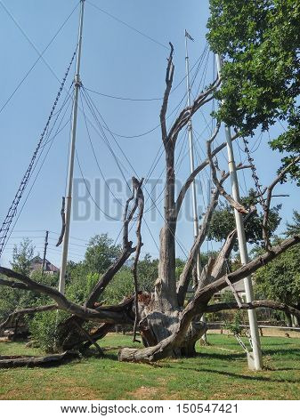 Zaporozhye dying oak tree tied up with steel straps