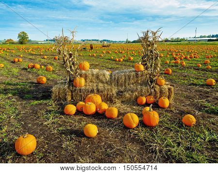 Pumpkin patch with crop ready to be harvested