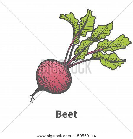 Vector illustration doodle sketch hand-drawn beet. Isolated on white background. The concept of harvesting. Pets vegetables. Vintage retro style. Beetroot with tops.