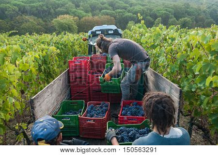 Grape harvest i Chianti land, in Tuscany, Italy