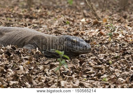 Komodo Dragon in Komodo island in Indonesia