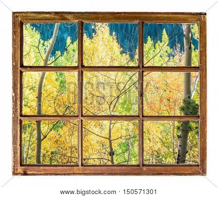 Colorado aspen tree in fall colors as seen from a sash window of old cabin