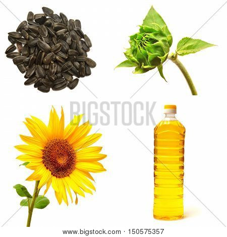 Collection of sunflower isolated on white background. Seeds sunflower and sunflower oil bottle. Stages of growth of a sunflower