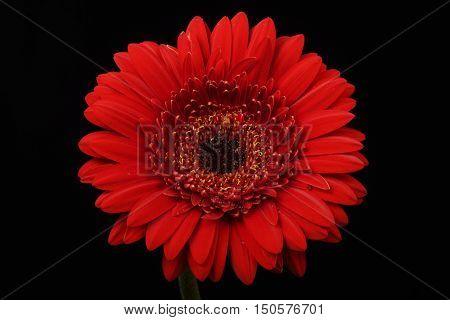 Red, Flower, Black background, well-lit, Gerbera, close-up