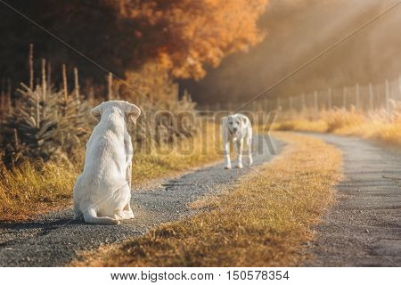 two cute labrador dog puppies on a field during autumn