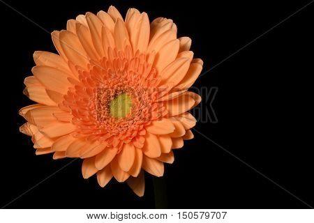 Orange Flower Black background back-lit Gerbera close-up not-centered