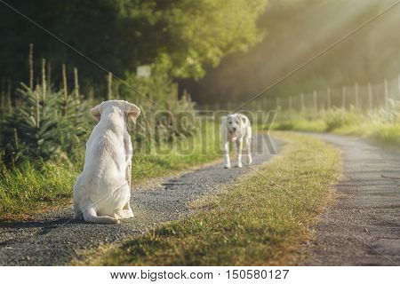 two labrador retriever dog puppies on street by sunset in summer or spring