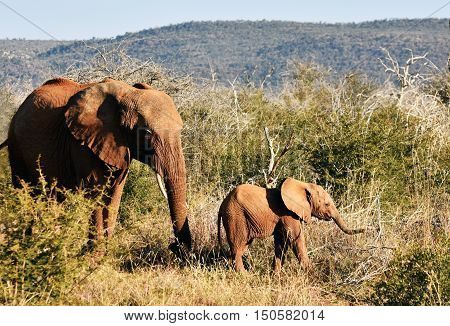 Picture of a mum and baby elephant in Madikwe game reserve,South Africa,Africa.