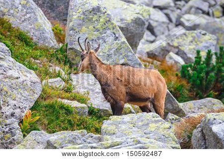 Chamois (rupicapra Carpatica) In High Tatra Mountains, Poland