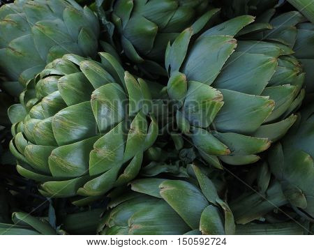 Super large fresh picked bright green artichokes