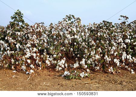 Cotton in cotton fields in south israel.