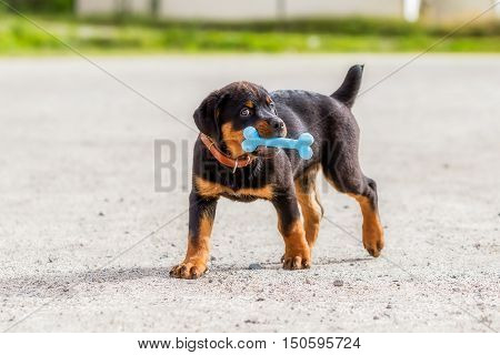 Rottweiler Puppy Playing With Blue Toy Rubber Bone