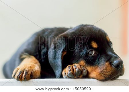 Rottweiler Puppy Resting On The Table Looking Straight Into The Camera