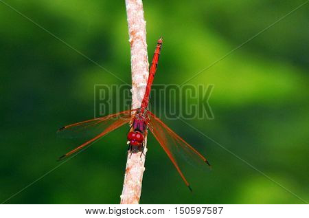 Wildlife Photos - Dragonfly