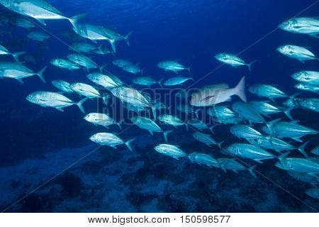 School of Giant trevally in Maldives island