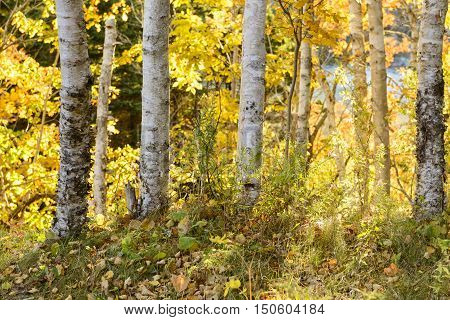 Birch Trees on Sunny Day in Fall
