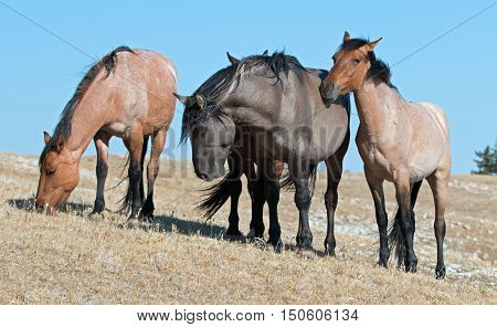 Windblown Band of Wild Horses grazing on Sykes Ridge in the Pryor Mountains Wild Horse Range in Montana - Wyoming USA poster