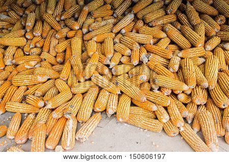 Corn on cob, pile of corn, ripe corn, dried corn