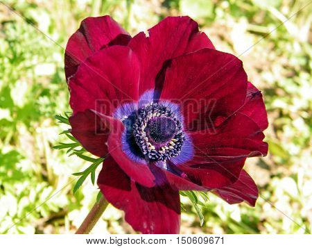 Red Crown Anemone in park of Ramat Gan Israel February 6 2011