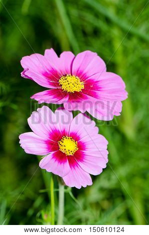 Cosmos flowers in the garden,Flowers in the garden, Cosmos flowers,background, beautiful, beauty, bright, color, cosmos,
