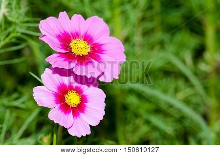 Cosmos flowersFlowers in the garden,Flowers in the garden, Cosmos flowers,background, beautiful, beauty, bright, color, cosmos,