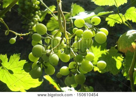 Green grapes. Green bunch of grapes. Green grapes.