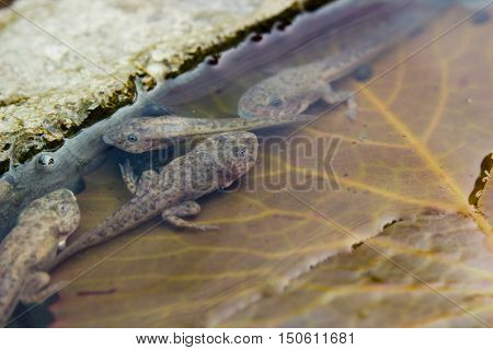 close up of tadpoles on Lotus leaf