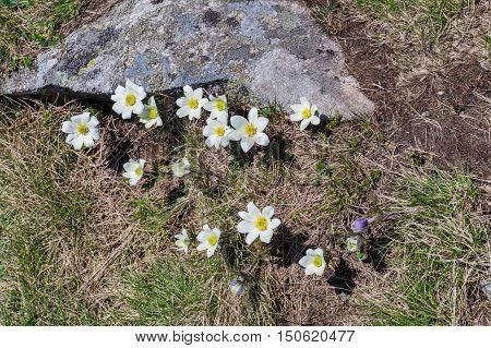 White mountain flowers grow on the tourist route in the mountains of Europe Ukraine