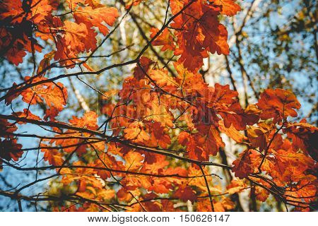 Yellow Oak Leaves Retro