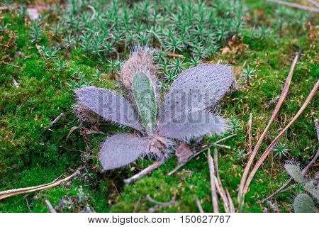 Woodland Ground Chunky Plant In Green Moss Background
